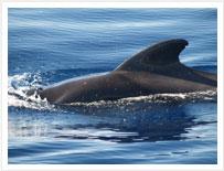 Balene e delfini a Tenerife su una delle tante escursioni